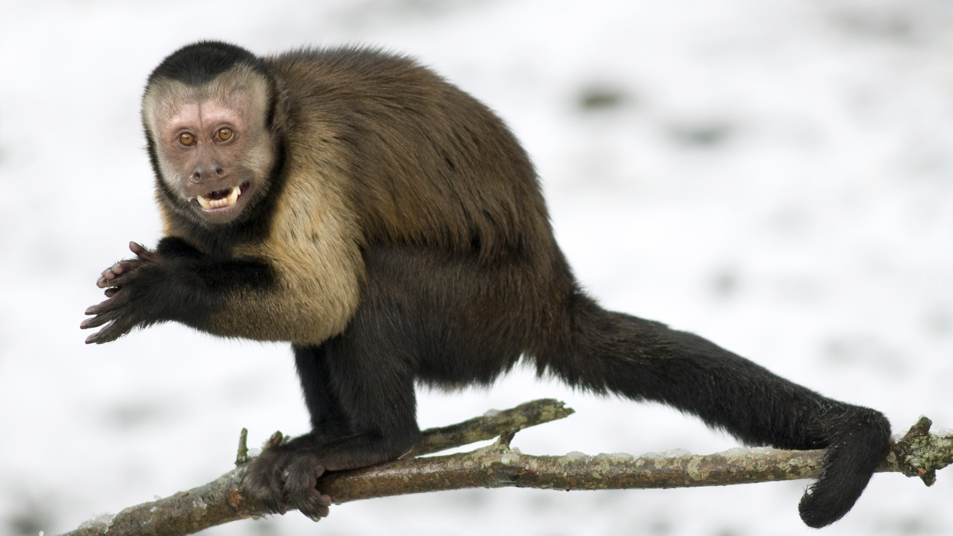 brown tufted capuchin The tufted capuchin has a head-body length of 32 to 57 centimetres (13 to 22 in), a tail length of 38 to 56 centimetres (15 to 22 in), and a weight of 19 to 48 kilograms (42 to 11 lb), with the males generally being larger and heavier than the females.