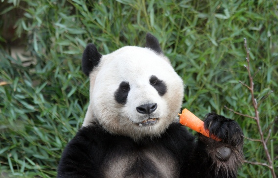 Yang Guang Eating a Carrot