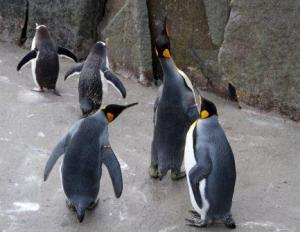 KingPenguins_2013
