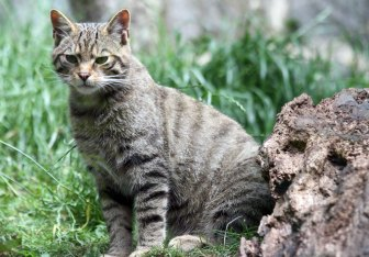 Scottish wildcat by Katie Paton