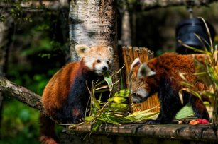 Red-Panda-KittyandKevyn