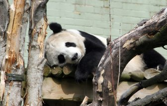 Tian Tian at Edinburgh Zoo
