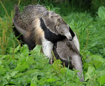 Giant-Anteater-and-baby---credit-Mike-Gilburt