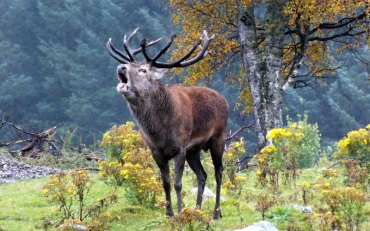 Red Deer, Thor by Jan Morse