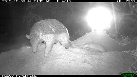 Giant Armadillo Baby Alex 2013 by Pantanal Giant Armadillo Project