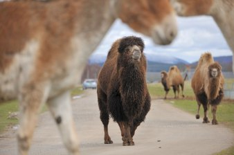 Karnali, male Bacrtian camel by Alex Riddell