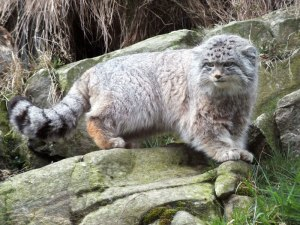 Pallas's Cat by Jan Morse, RZSS