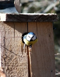 Blue tit - by Jan Morse