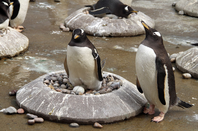egg laying is under way at penguins rock rzss blog