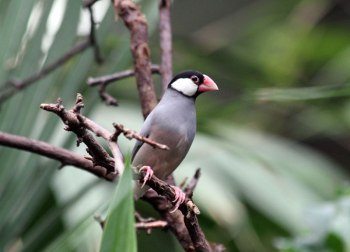 Java sparrow by Katie Paton