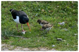 Oystercatcher chicks by Alex Riddell