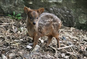 Southern pudu fawn, Scarlet