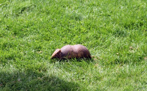 Dillon - Southern three-banded armadillo