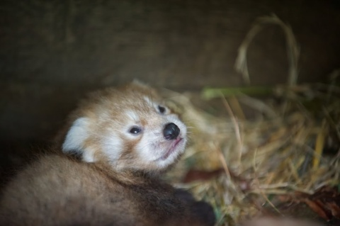 Red panda cub by Alex Riddell