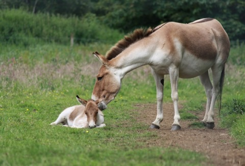 Kiang foal at Edinburgh Zoo by Sharon Hatton