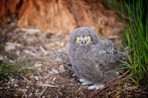 Snowy owl chick by Alex Riddell
