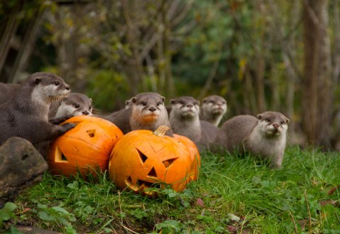 Oriental short-clawed otters with pumpkins at Halloween