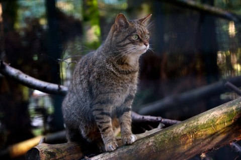 Scottish Wildcat by Alex Riddell