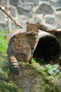 14_12_04_ScottishWildcat_1_kp_fb