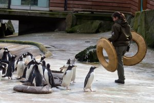 15_03_02_GentooPenguin_KeepersPlacingNestRings_kp_2_fb
