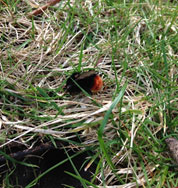 Red-tailed-bumblebee