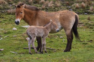 Przewalksi's wild horse and foal by Alex Riddell
