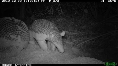 Baby Alex - Giant Armadillo Project, Brazilian Pantanal