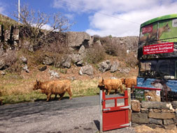 Traffic jam of Highland cows on Mull!