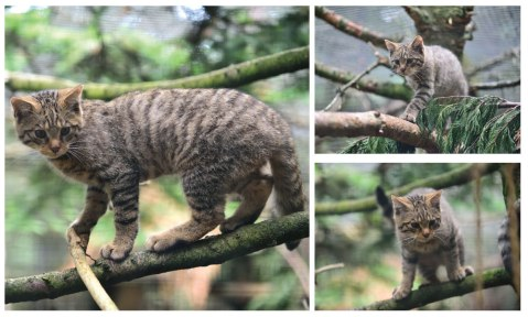 15_07_22_ScottishWildcat_kittens