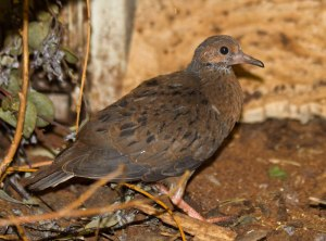 Socorro dove chick