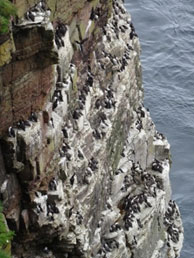 Nesting guillemots at Duncansby Head