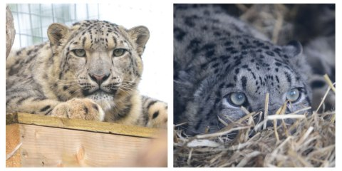 Snow leopards by Alex Riddell (Male, Chan; Female, Animesh; (L-R))