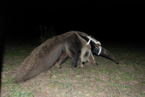 Giant anteater released back into the Cerrado.