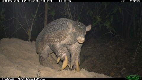 'Jessica' - Giant armadillo caught on trail cam