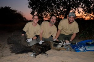Arnaud and his team with one of the giant anteaters successfully collared