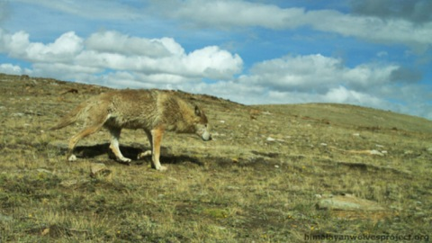 What it's all about: The elusive Himalayan wolf.