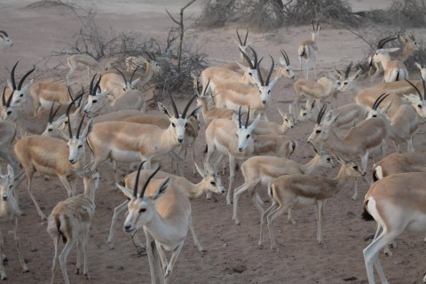 Sand gazelle enclosures