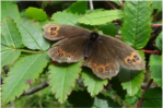 Scotch Argus butterfly, found near Drumnadrochit