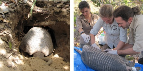 Left: Giant armadillo male Zezinho. Right: The team fit a GPS tag to Isabelle