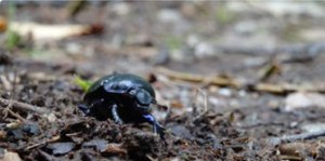 Mini-beast of the month: dung beetle at Glen Affric